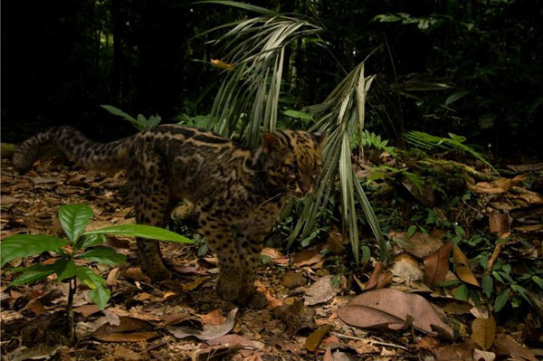 Rare Species runner-up: Marbled cat, Malaysian Borneo. Photo by: © Sebastian Kennerknecht/Panthera.