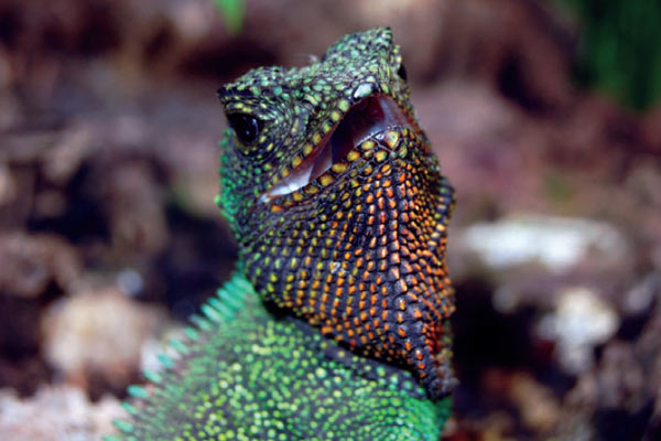 The red-throated wood lizard (Enyalioides rubrigularis) was described in 2009, but may go extinct if the Mirador mine goes ahead. Photo by: O. Torres-Carvajal et al.