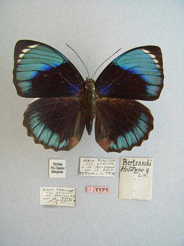 Type specimen of a female white-spotted Agrias subspecies (Agrias amydon phalcidon)