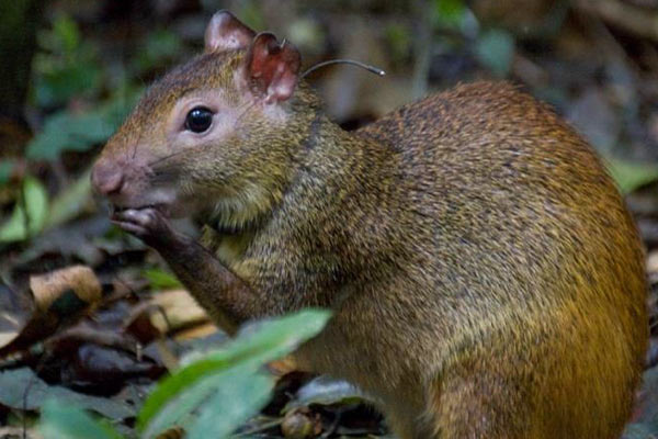 One of the female reintroduced agoutis with a radio collar. Photo by: Rui Salaverry.