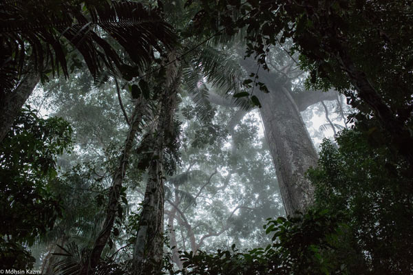 A towering ancient kapok tree in primary forest. Locally called the 'mother of the forest.' Photo by: Mohsin Kazmi.