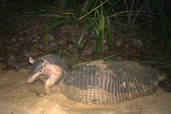 Un número de grupos conservacionistas están activos en Biofaces, incluido el Proyecto Armadillo Gigante. Aquí un armadillo joven, apodado Alex, juega con su madre en la cámara trampa. Foto de: el Proyecto Armadillo Gigante.