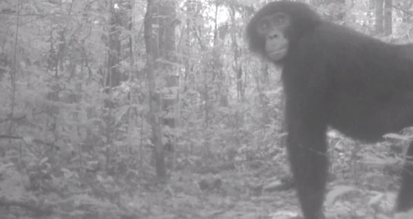 Bonobo from still of camera trap video. Courtesy of: Terese Hart.