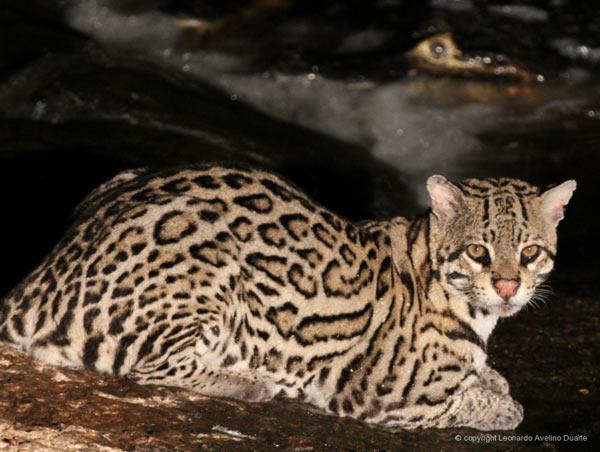 Un ocelote (Leopardus pardalis) en Brasil. Foto de: Leonardo Avelino Duarte.