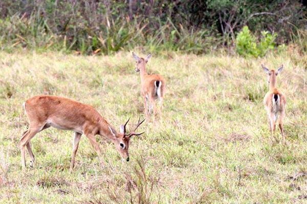 Venados de las Pampas (Ozotoceros bezoarticus) en Brasil. Foto de: Leonardo Avelino Duarte.