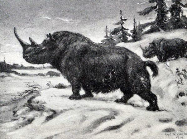 Illustration of extinct woolly rhino. Illustration by: Charles R. Knight.
