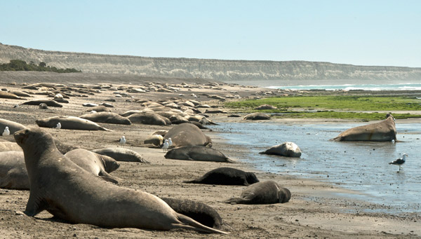 Elephant seals lounging. Photo by: G. Harris/WCS.
