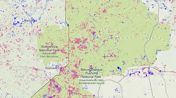 Forest loss across the Bialowieza forest from 2001-2013. Fores loss in pink; forest gain in blue. Image courtesy of Global Forest Watch.