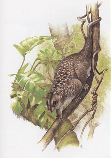 The Woodlark cuscus, only found on the island. Illustration by: Peter Schouten.