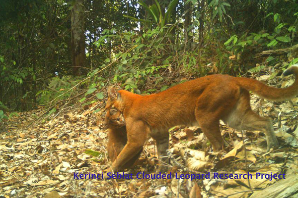 Mother and cub: researchers photograph rare cat with cub in Sumatra