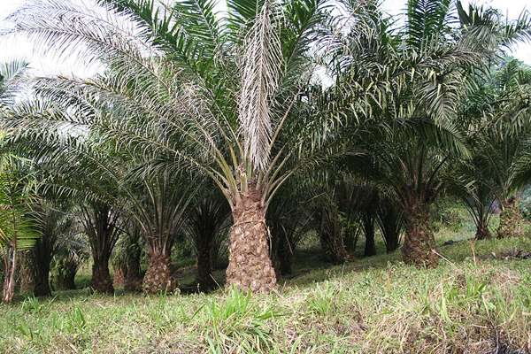 Oil palm plantation in Cameroon. Malaysia and Indonesia are the biggest producers of oil palm, but the crop is taking off in Africa as well leading to increased deforestation. Photo by: Marco Schmidt