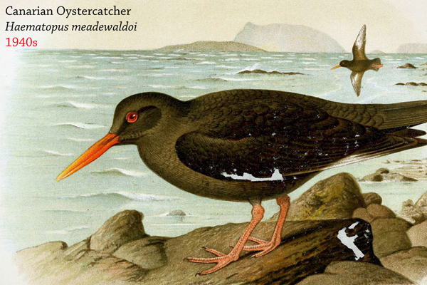 The Canary Islands oystercatcher (Haematopus meadewaldoi) was probably killed off due to overharvesting of its prey. Invasive species may have also played a role. Image by: Henrik Gronvold.