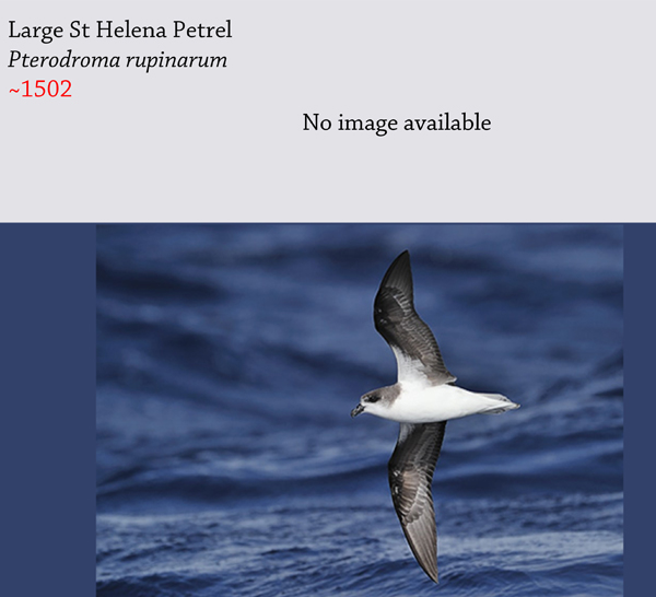 The Saint Helena large petrel (Pseudobulweria rupinarum) is believed to have been driven extinct by hunting and invasive species. This photo is of a relative, Fea's petrel. Image by: Kjetil Schjolberg.
