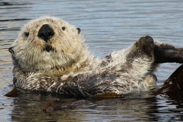 Sea otters are one of the happy stories from marine conservation. From near extinction they have recovered in some parts of their range. Photo by: Andrew Reding.
