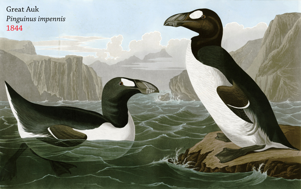 The great auk (Pinguinus impennis) was the only species in its genus. Largely decimated for its meat, oil, and feathers to make pillows, the species was also a victim of collectors who paid heavily for its eggs. Image by: Joseph Wolf.