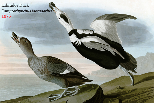 The Labrador duck (Camptorhynchus labradorius) was never abundant, but hunting and possibly egg collecting are believed to have played a role in its extinction. Image by: John James Audobon.