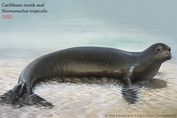The Caribbean monk seal (Monachus tropicalis) was only declared officially extinct in 2008 by the IUCN Red List, though it died out in the 1950s. The seal was largely hunted to extinction, though overfishing of reefs may have also depleted its prey source. Image by: Peter Schouten from 'A Gap In Nature'.