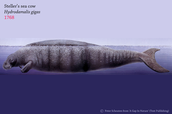 Steller's sea cow (Hydrodamalis gigas) was literally eaten to extinction by humans. It was sent to oblivion 27 years after Europeans discovered it. Image by: Peter Schouten from 'A Gap In Nature'.