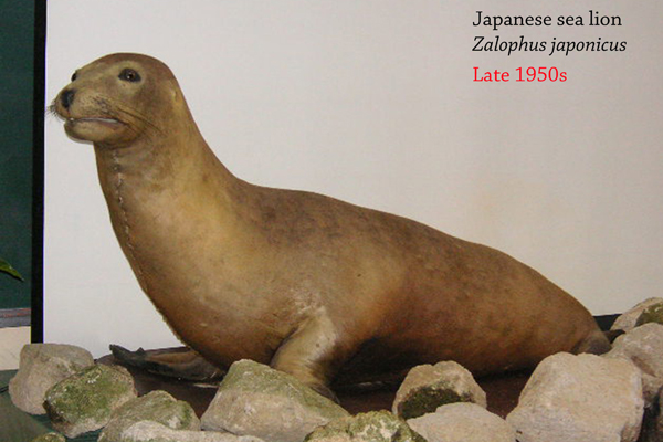 The Japanese sea lion (Zalophus japonicus) was driven to extinction by hunting for food, oil, and body parts used in traditional medicine. It was only recently recognized as a full species in its own right. Image by: Nkensei.