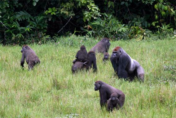 Bigger is better for gorillas