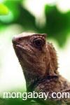 Asian forest chameleon (Gonocephalus chamaeleontinus)