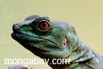 Female green basilisk