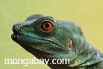 Female green Jesus Christ lizard