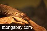 Mertens' water monitor lizard
