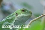 Fijian iguana (Brachylophus bulabula)