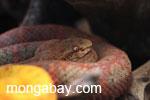 Orange eyelash viper