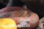 Rusty eyelash viper