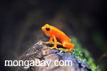 Golden mantella from Madagascar