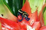 Dyeing poison arrow frog (Dendrobates tinctorius)