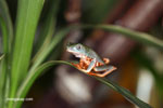 Tiger-legged monkey frog (Phyllomedusa tomopterna)