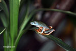 Tiger-striped tree frog (Phyllomedusa tomopterna)