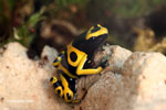 Yellow-banded poison arrow frog (Dendrobates leucomelas)