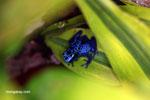 Blue arrow poison frog (Dendrobates tinctorius azureus)