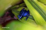 Blue dart poison frog (Dendrobates tinctorius azureus)