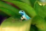 Electric blue gecko (Lygodactylus willoamsi)
