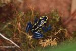 Dyeing dart frog (Dendrobates tinctorius)