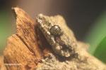 Kuhl's Flying Gecko (Ptychozoon kuhli)