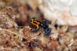 Ranitomeya imitator poison dart frog