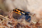 Ranitomeya imitator poison arrow frog