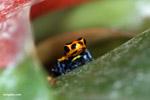 Ranitomeya imitator dart poison frog
