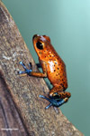 Cristobal strawberry dart frog (Oophaga pumilio)