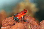 Almirante strawberry arrow frog (Oophaga pumilio)