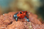 Almirante strawberry poison dart frog (Oophaga pumilio)