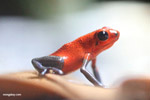 Almirante strawberry poison arrow frog (Oophaga pumilio)