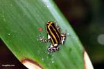 Pasco poison frog (Ranitomeya lamasi)