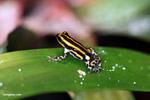 Pasco poison dart frog (Ranitomeya lamasi)